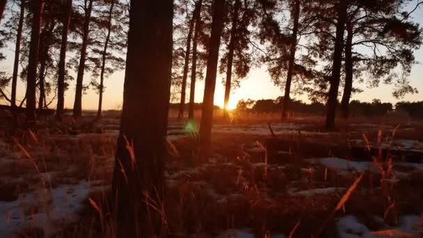 Brzy ráno suché trávy s východem slunce, v borovém lese. krásný borovicový les v zimě slunce svítí skrz stromy přírodní turistika cestování krajina
