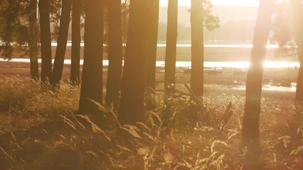 Zalesněném borovice lesní krajinu suché trávy pahýl silueta stromy podsvícení ve zlatém slunečním světle před západem slunce s paprsky slunce odlévání venku mezi stromy na lesní půdě svítící strom životní styl
