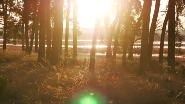 Wooded Pine forest landscape dry grass stump silhouette trees backlit by golden sunlight before sunset with sun rays pouring through outdoors trees on forest floor illuminating the tree lifestyle