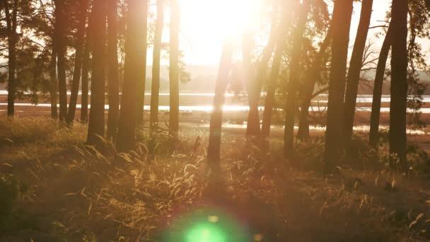 Zalesněném borovice lesní krajinu suché trávy pahýl silueta stromy podsvícení ve zlatém slunečním světle před západem slunce s paprsky slunce nalil přes stromy venku na lesní půdě svítící strom životní styl