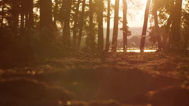 Lesnaté krajině silueta borovice lesní stromy podsvícení ve zlatém slunečním světle před západem slunce s paprsky slunce nalil přes stromy na lesní půdě svítící větve stromu životní styl venku