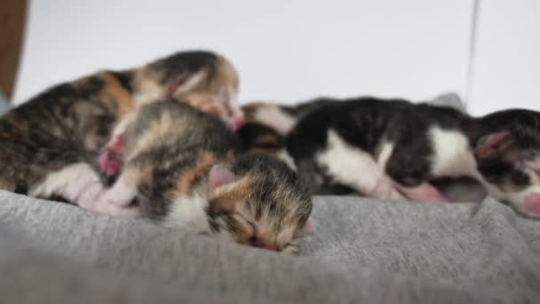 gattini ciechi con gli occhi chiusi. gatti svegli stanno mentendo lifestyle addormentato. animali appena nati di tri-colore carino gattino su sfondo bianco