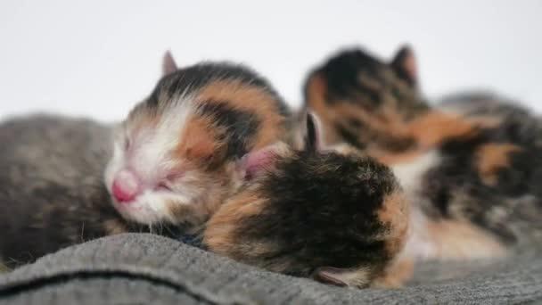 gattini ciechi con gli occhi chiusi. gatti svegli giacciono addormentati. animale neonato di tri-colore carino gattino su uno stile di vita su fondo bianco