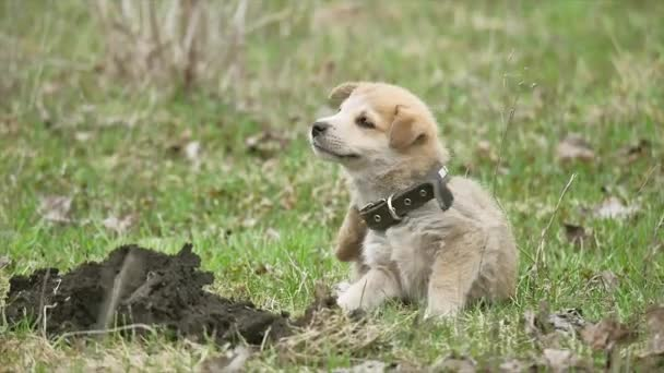 little cute dog pet puppy itches from fleas on a farm in america. treatment of pets concept