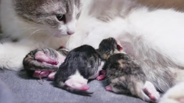Funny fold cats. cat and kittens. cat feeds newborn kittens. the cat gives birth parturition to kittens. indoors kitten playing sleeps . suck tit blind lovely indoors lifestyle kittens concept pet