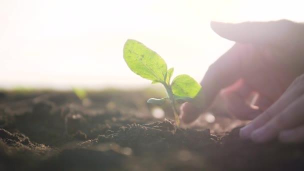Ekologické zemědělství. Koncepce Světového dne půdy: Samci pěstitelé pěstují klíčky se zelenými listy semenných stromů s půdou na rozmazaném zemědělském poli pozadí životního stylu. muž farmář pracuje v terénu