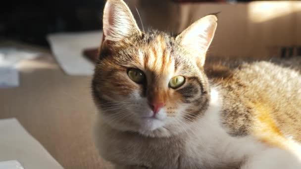 Tricolor Katzenporträt Gesicht liegt auf dem Fenster Licht fällt auf das Gesicht. Lebensstil für Heimtiere
