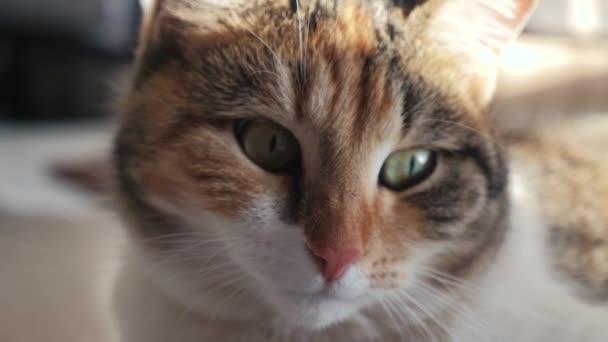 tricolor macska portré arc fekszik az ablakon fény esik életmód az arcra. háziállat gondozás