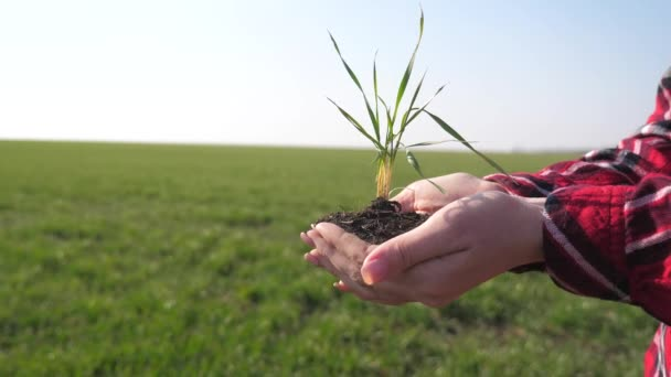 girl hands holding soil dirt a green young plant. eco farming Symbol of spring and ecology concept. woman peasant hands holding green young plant and earthy lifestyle handful in morning sunlight rays