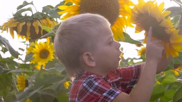 malý chlapec objevování pole se slunečnice šťastný rodinný koncept zpomalit životní styl videa. čichá květ slunečnice legrační video. blond chlapec zemědělec pracuje na poli se slunečnicemi