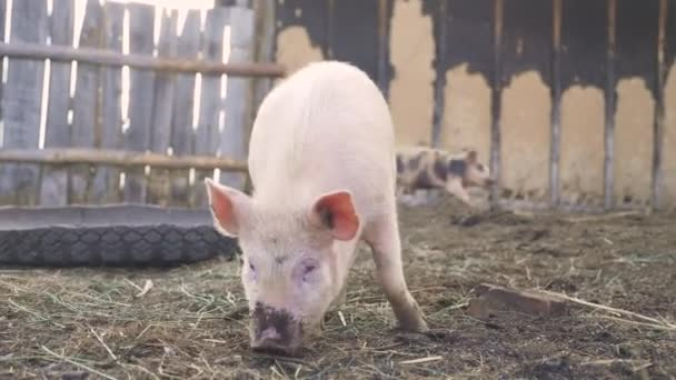 funny pigs sniffing soil farming agriculture concept. pig on an old farm . adult piglets run in a lifestyle pen on an old farm