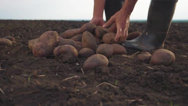 chytré zemědělství. muž farmář vybírá brambory zpomalit video. koncepce zemědělské sklizně. samec prostý životní styl v červeném krku gumové boty během sklizně