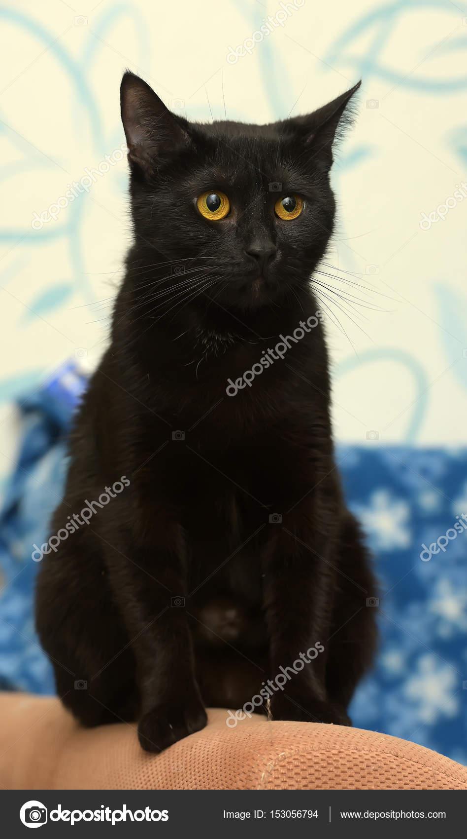 elegantní černá kočička