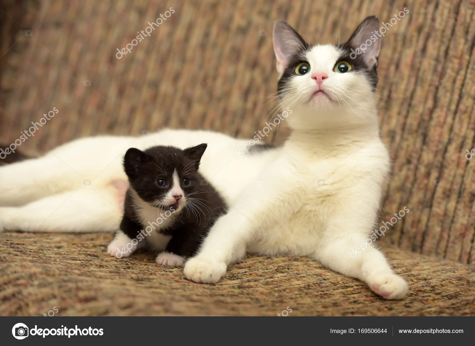 Beautiful White With A Black Cat Lying With Her Kitten Stock Photo C Evdoha 169506644