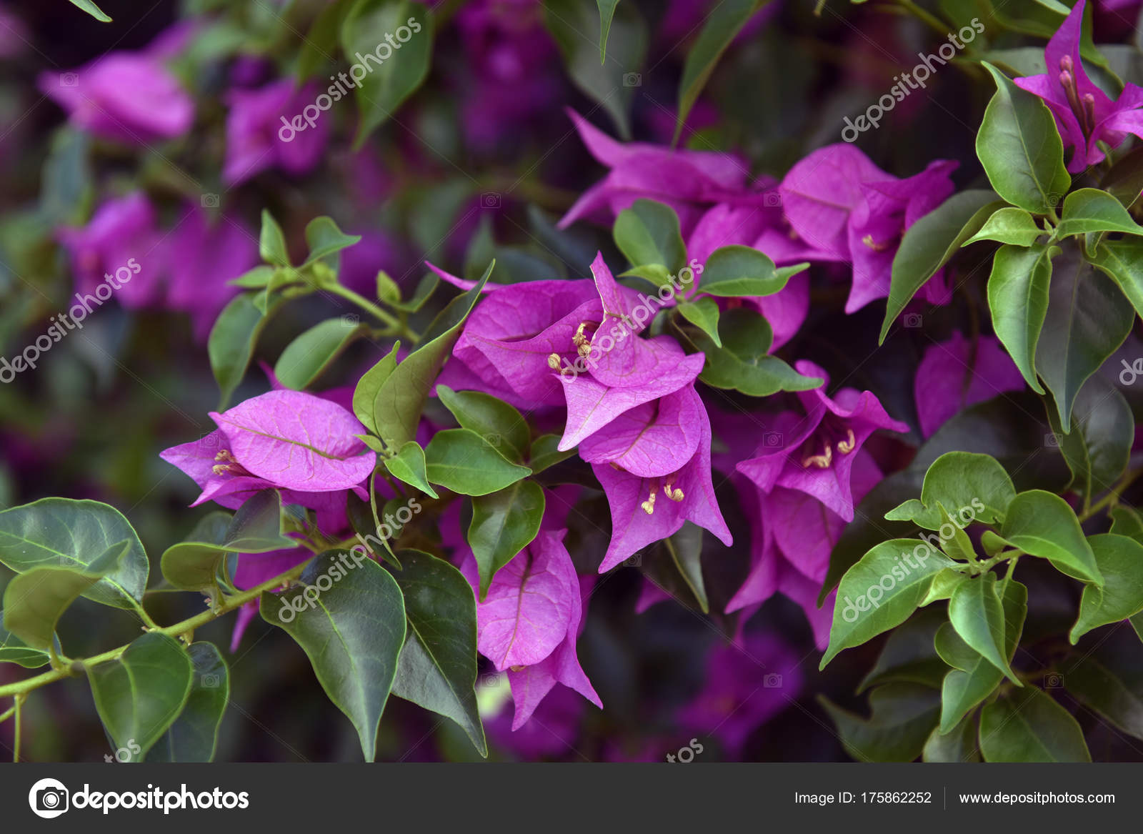 Bougainvillea or paper flower is a kind of tropical plant stock bougainvillea or paper flower is a kind of tropical plant photo by evdoha mightylinksfo