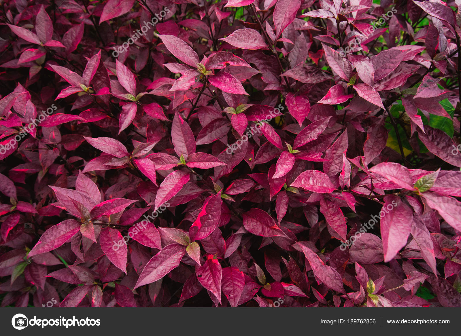 Red Leaves Plum Bush Red Leaves Red Leaf Stock Photo