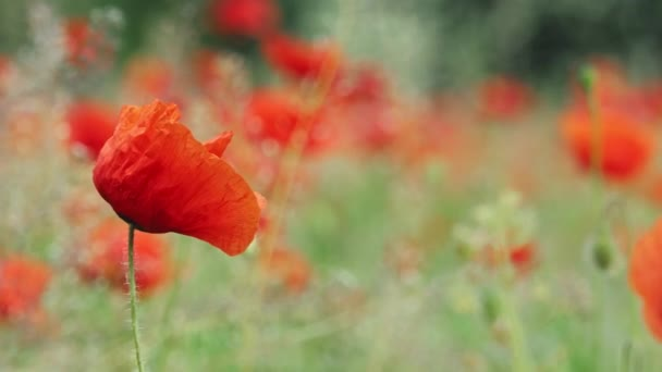 Poppy field and close up on poppy with blurred background and light wind. 4k