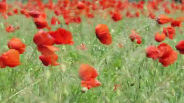 Wonderful and emotional scene of red poppies moved by the strong wind in a field on a sunny day. 4k countryside