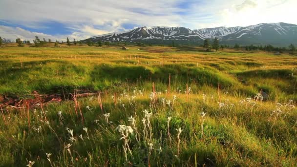 Sunset in the mountains of Altai, Mongolia. Meadow with edelweisses