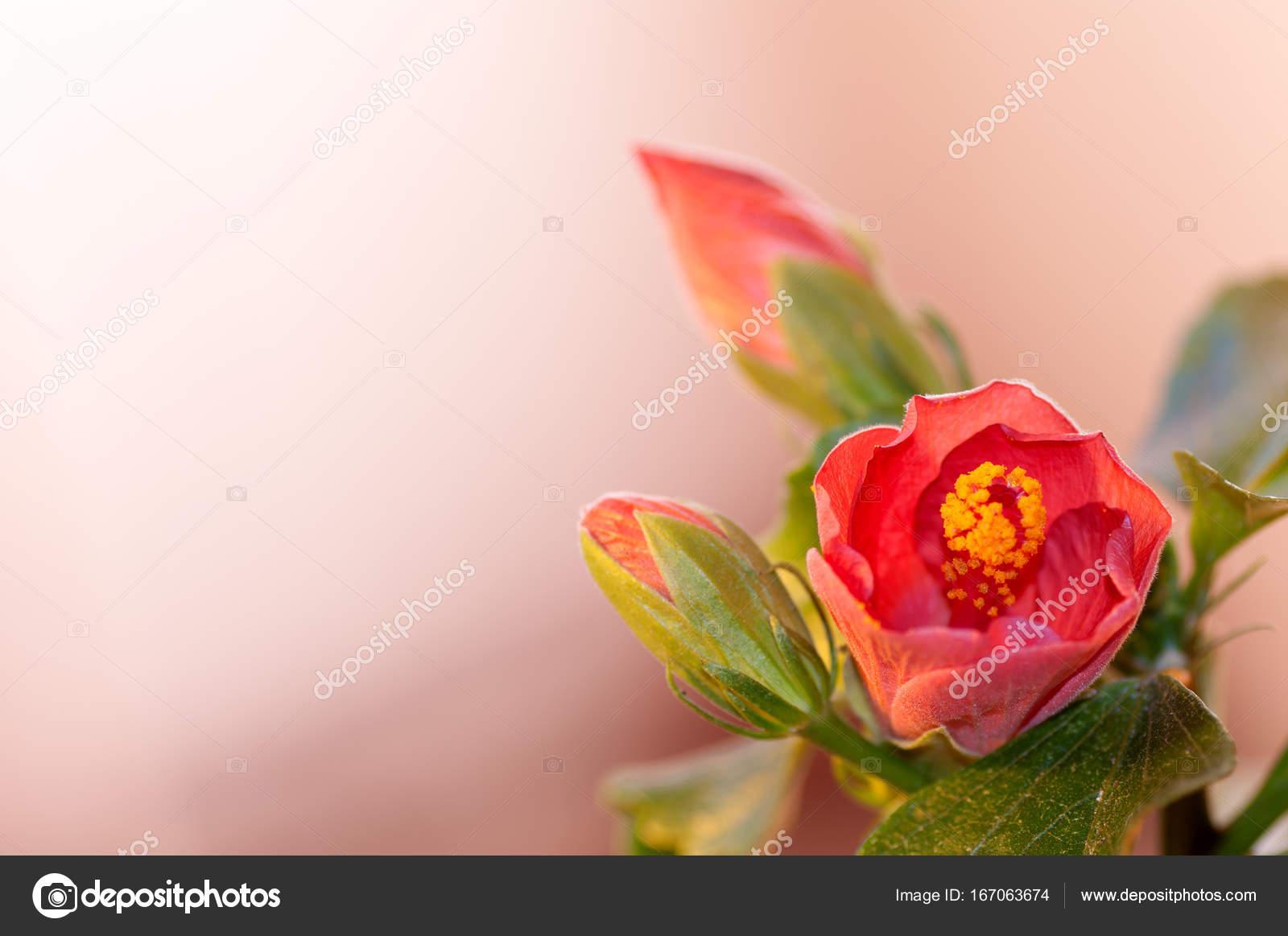 Hibiscus flower red studio stock photo tanchic 167063674 hibiscus flower red studio stock photo izmirmasajfo