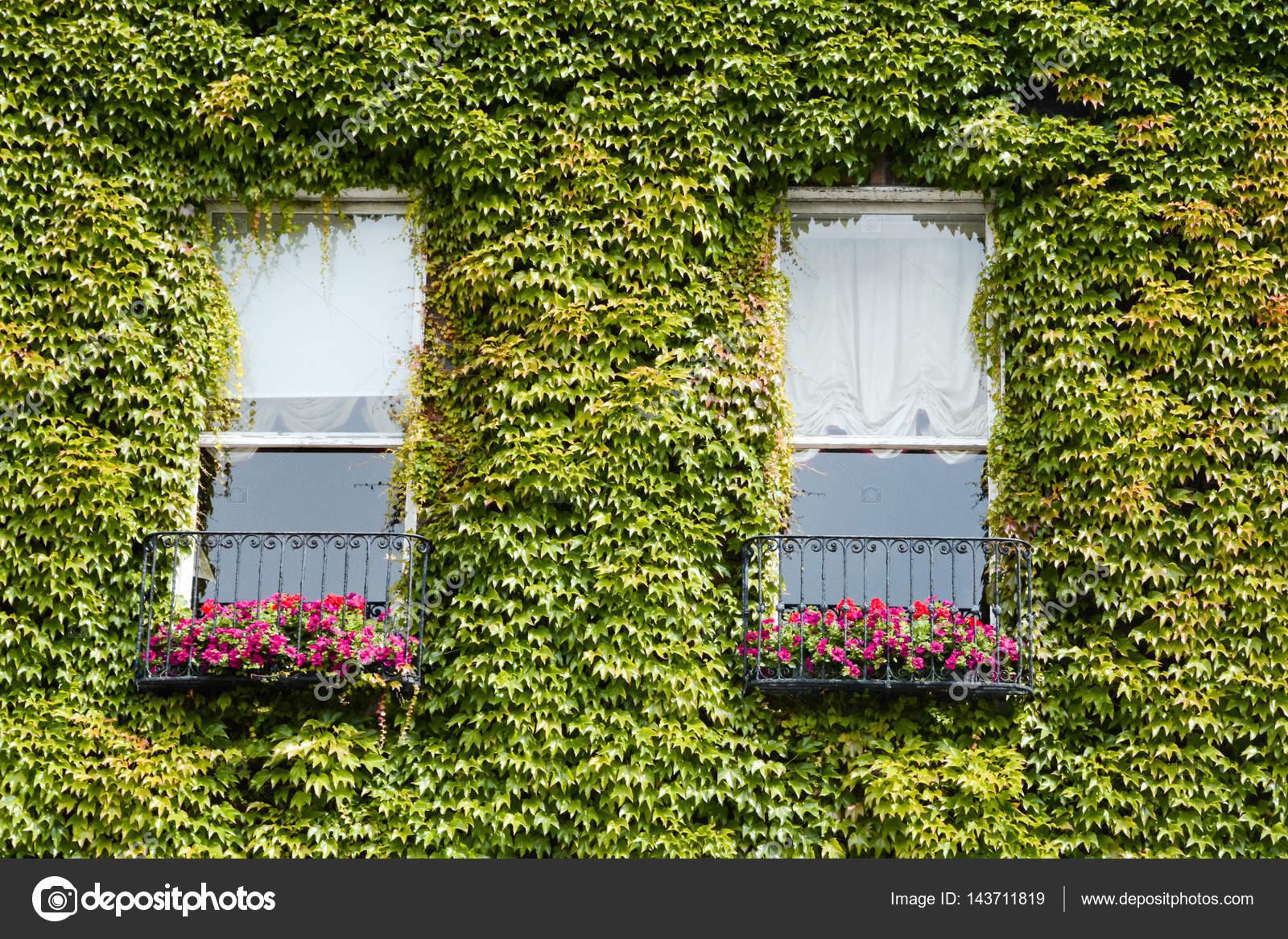 Pianta rampicante verde dell 39 edera sul muro di casa foto - Disegnare sul muro di casa ...