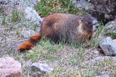 Marmot in Colorado