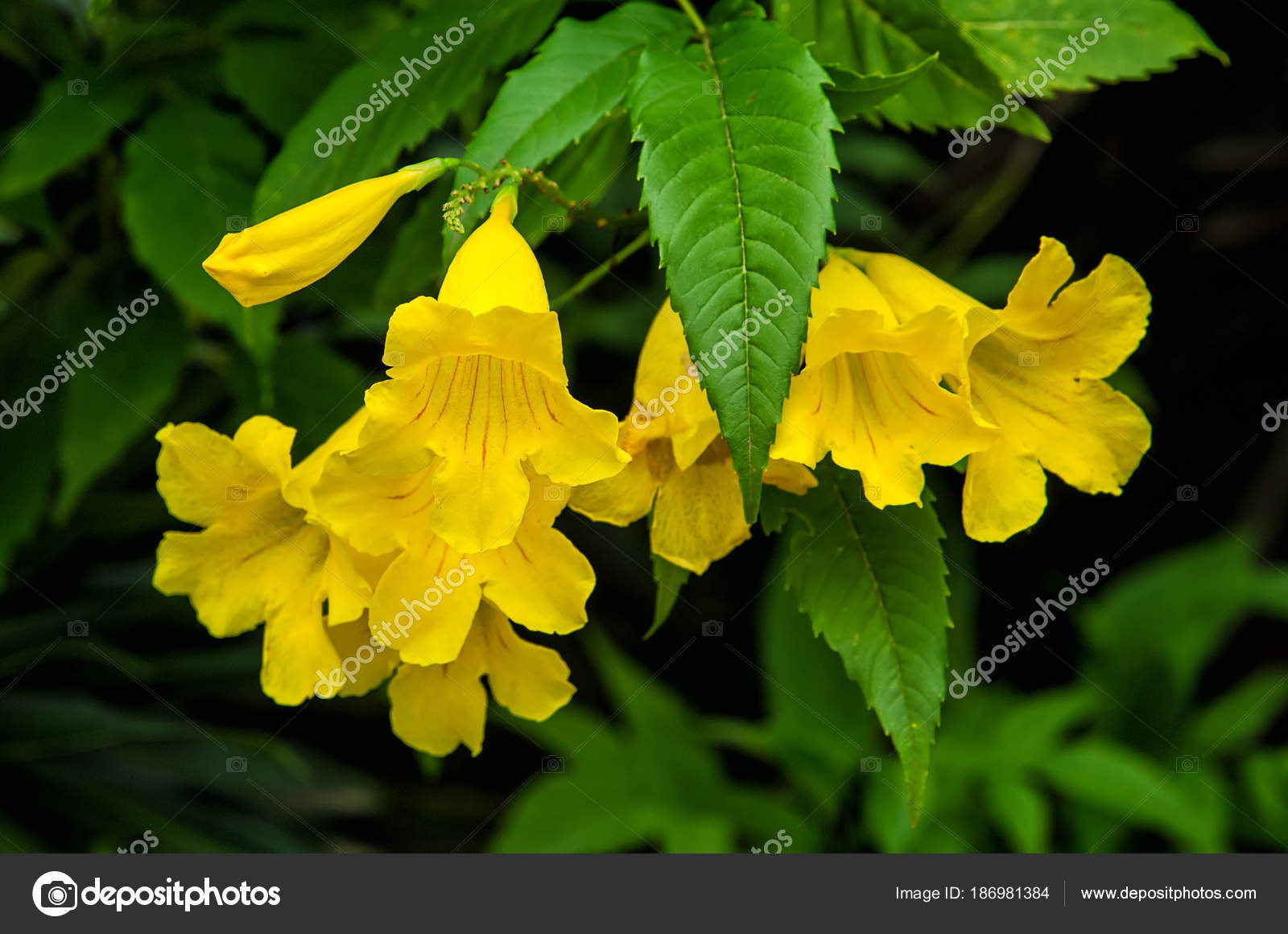 Yellow elder yellow bells or trumpet vine flowers tecoma stans yellow elder yellow bells or trumpet vine flowers tecoma stans stock photo mightylinksfo