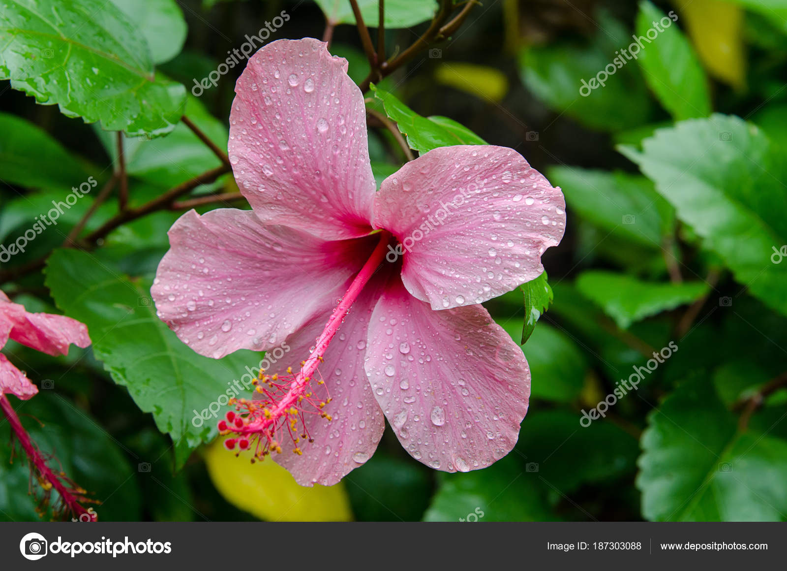 Hibiscus Flower In The Garden With Water Drops Detail Of The