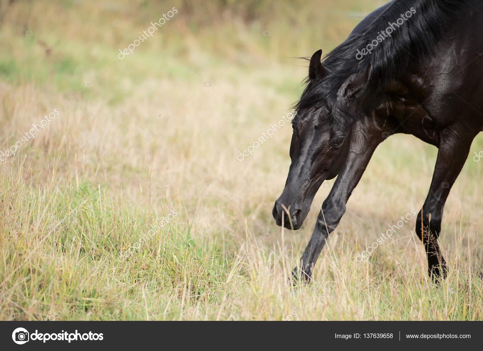 Portrait Of Running Black Horse In Field Stock Photo C Anakondasp 137639658