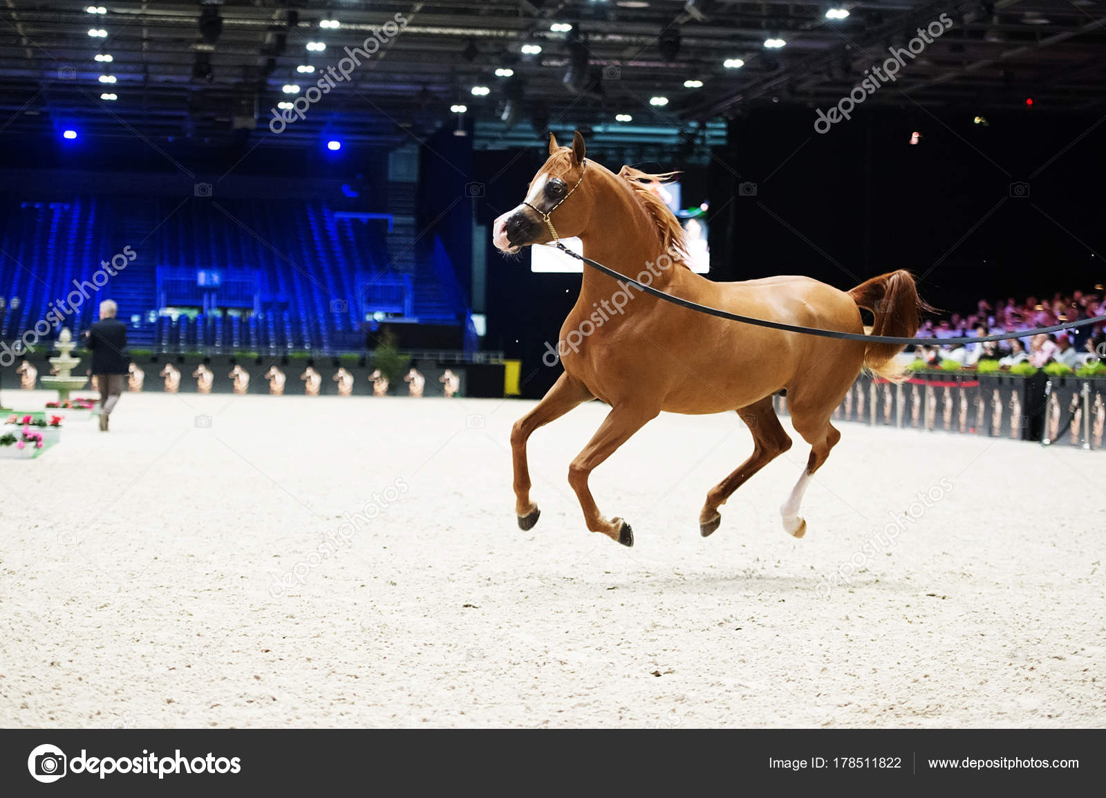 Arabian Horse World Championship Nord Villepente In Paris Pari Stock Editorial Photo C Anakondasp 178511822
