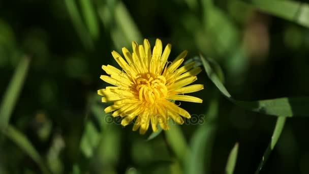 Žlutá květina Pampeliška na zahradě