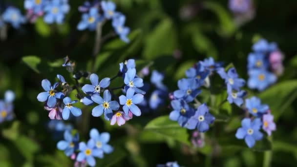 Blue flowers of forget-me-not in the garden