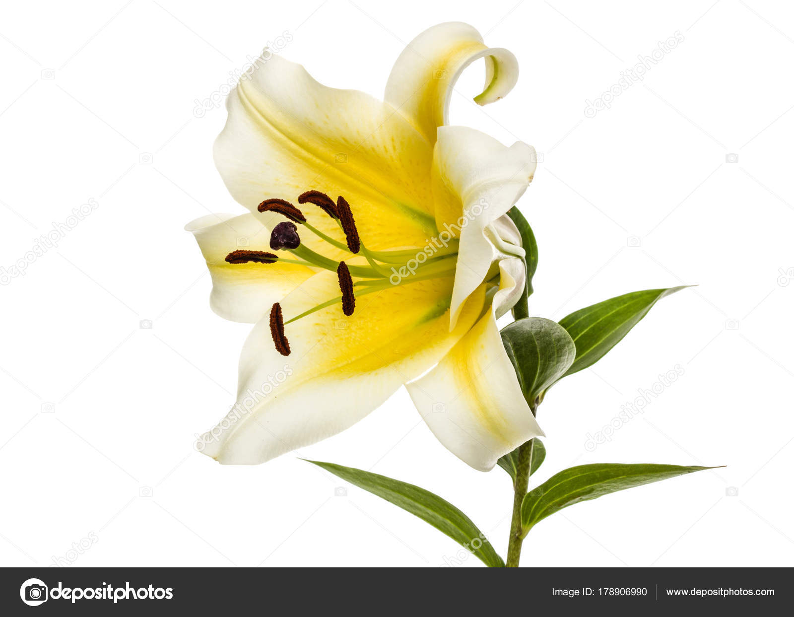 Flower of yellow oriental lily isolated on white background stock flower of yellow oriental lily isolated on white background stock photo izmirmasajfo