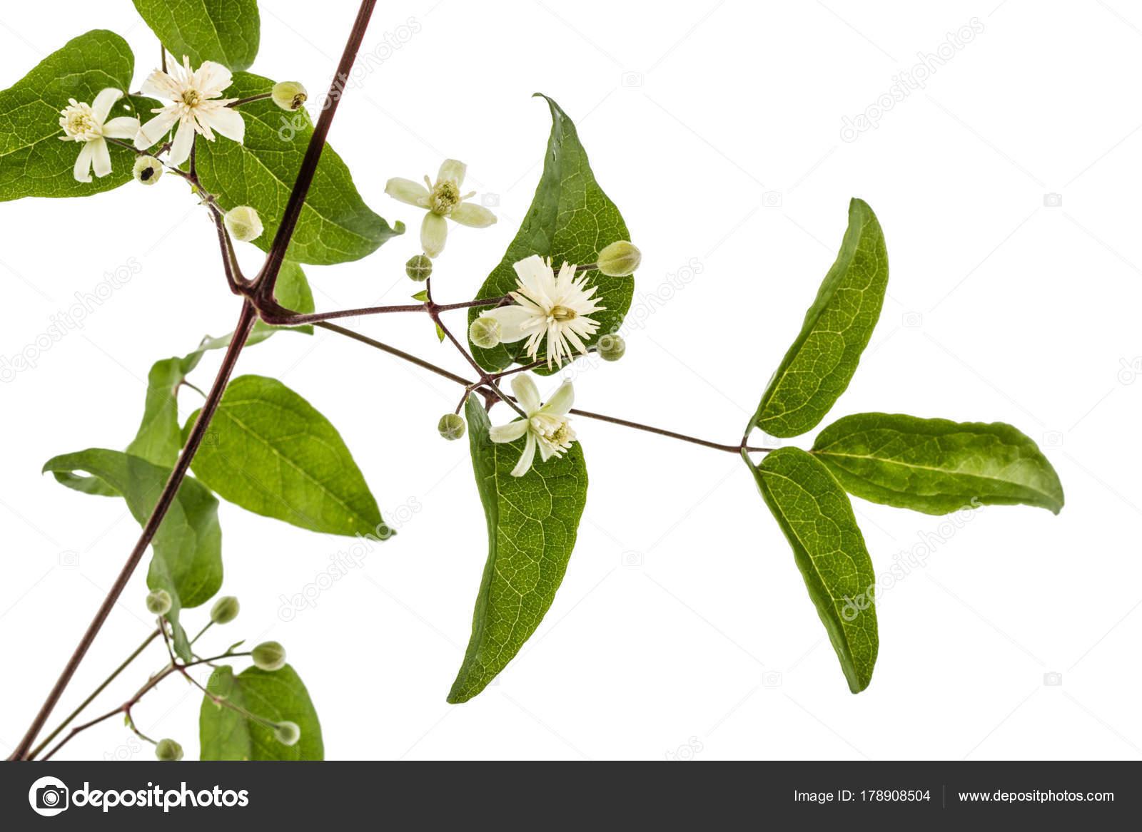 Зеленые цветки клематиса