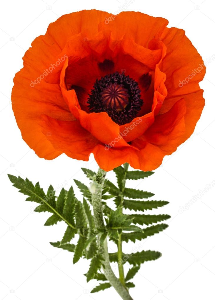 Flower of red poppy, lat. Papaver, isolated on white background