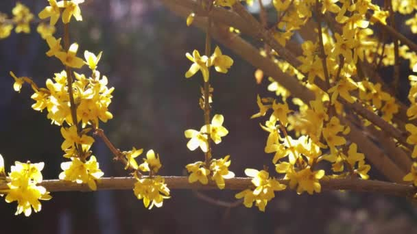 Tree with yellow flowers in sunny morning, spring blossom, 4k