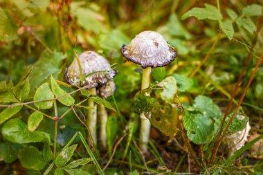 Mica cap wild mushroom. Coprinus micaceus.