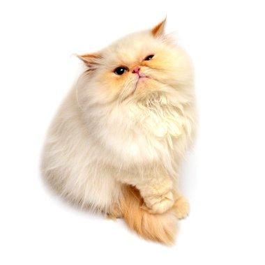 persian kitten discontentedly gazing at camera