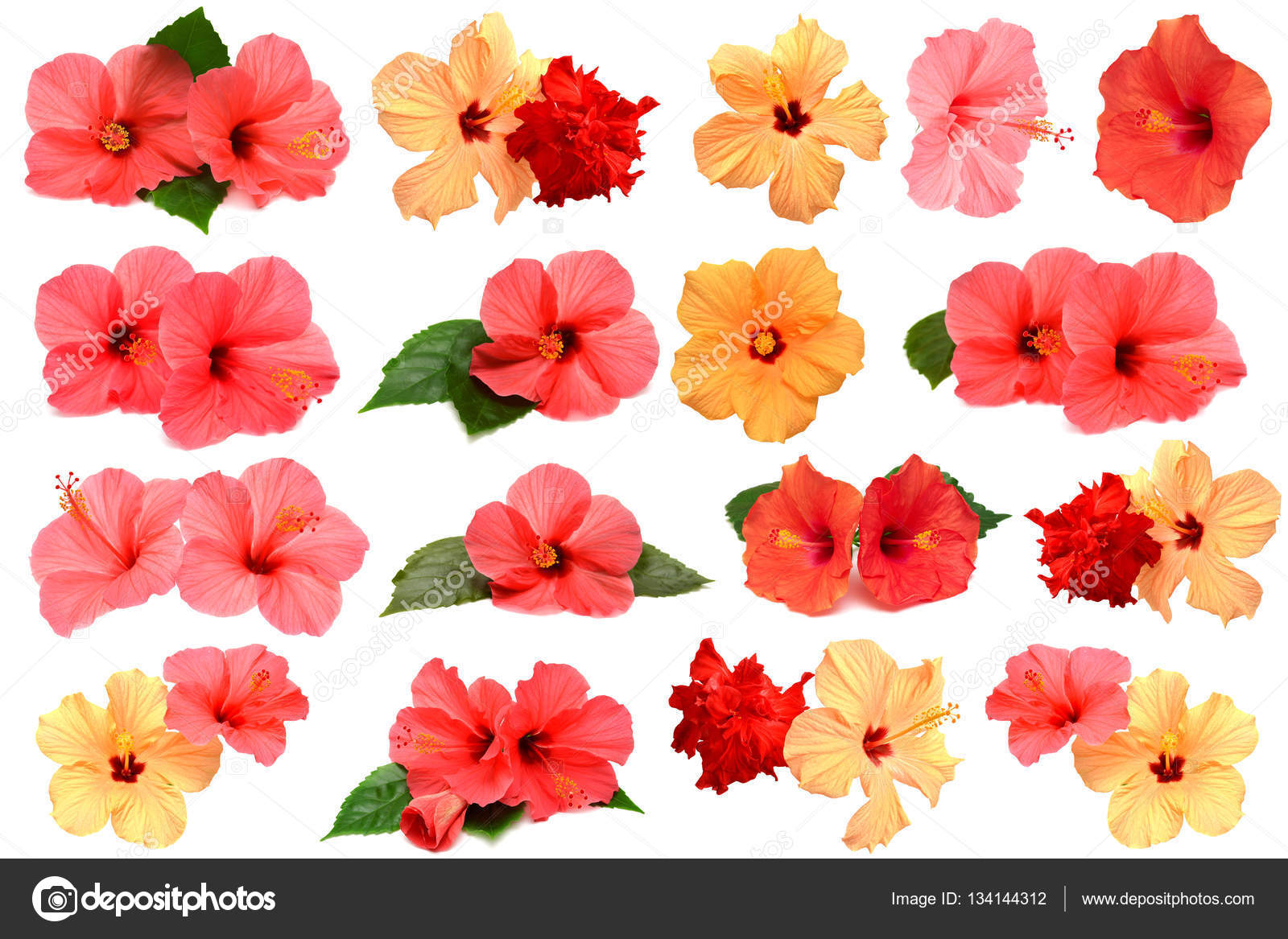 Collection of colored hibiscus flowers — Stock Photo © Ian_2010 ...