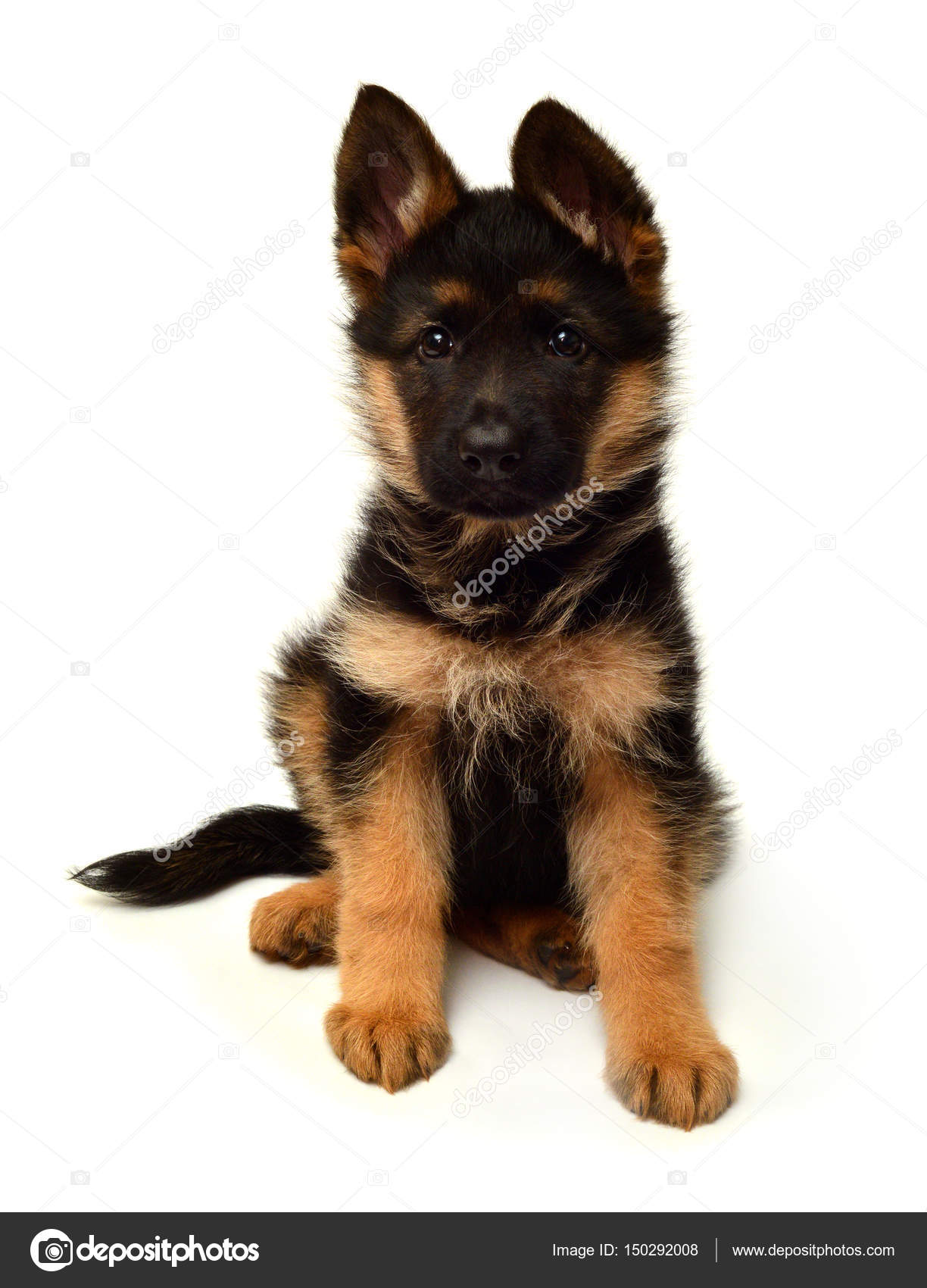 Cute German Shepherd Puppy Stock Photo Ian2010 150292008