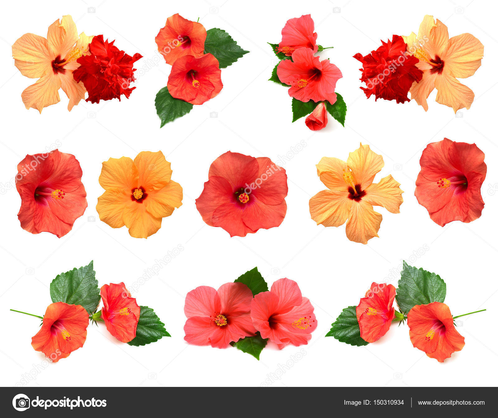 Collection of hibiscus flowers stock photo ian2010 150310934 collection of colored hibiscus flowers with leaves isolated on white background photo by ian2010 izmirmasajfo