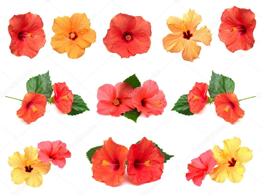 Collection of hibiscus flowers