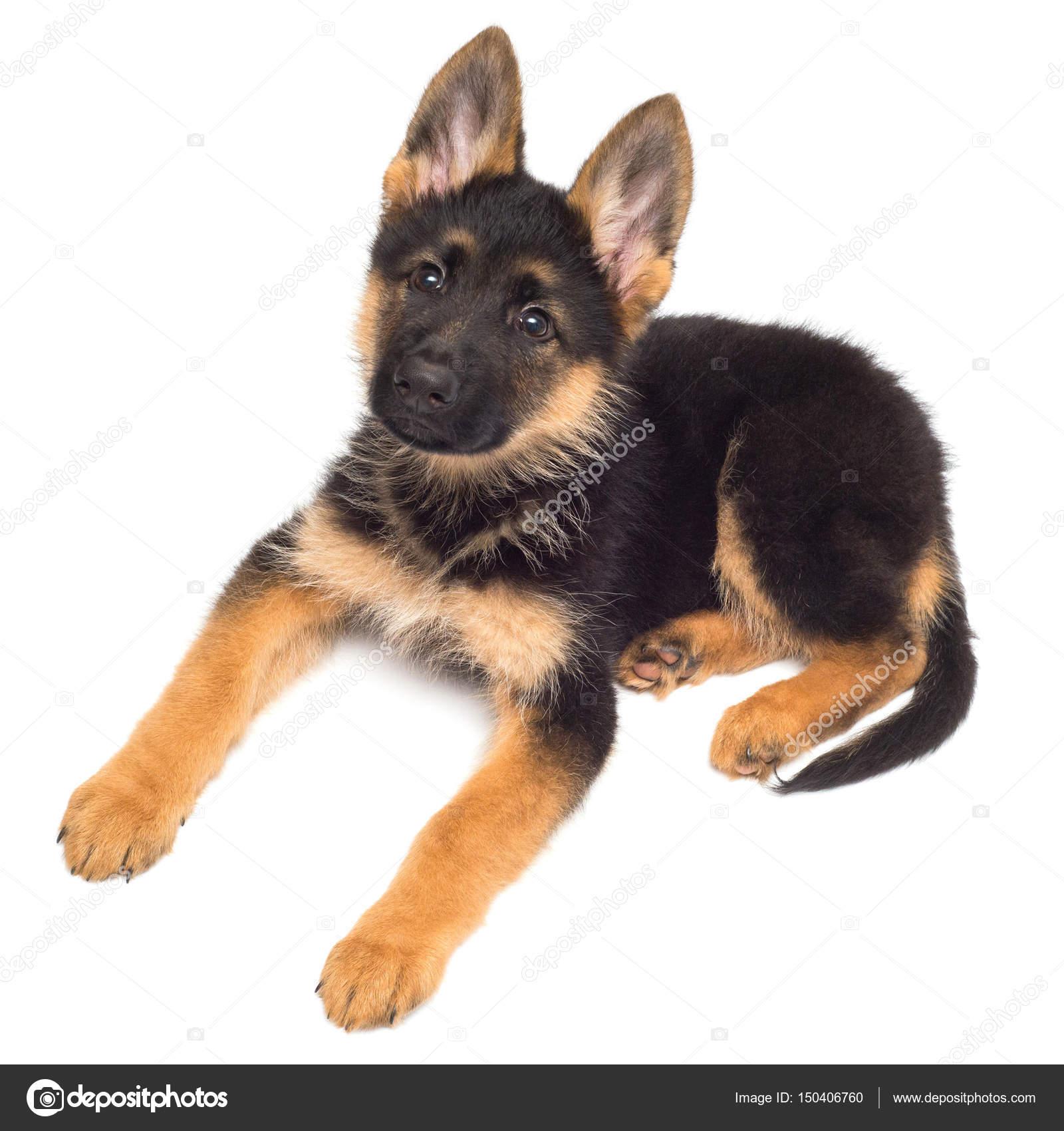Cute German shepherd puppy — Stock Photo © Ian_2010 #150406760
