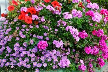 Autumn magenta asters and pelargonium flowerbed
