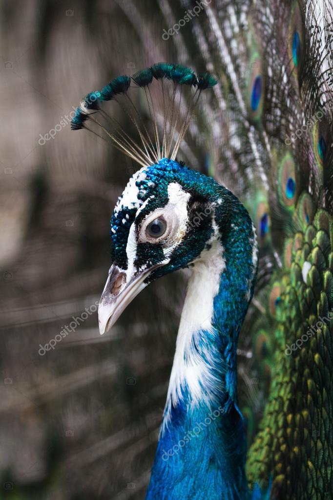 peacock head shot