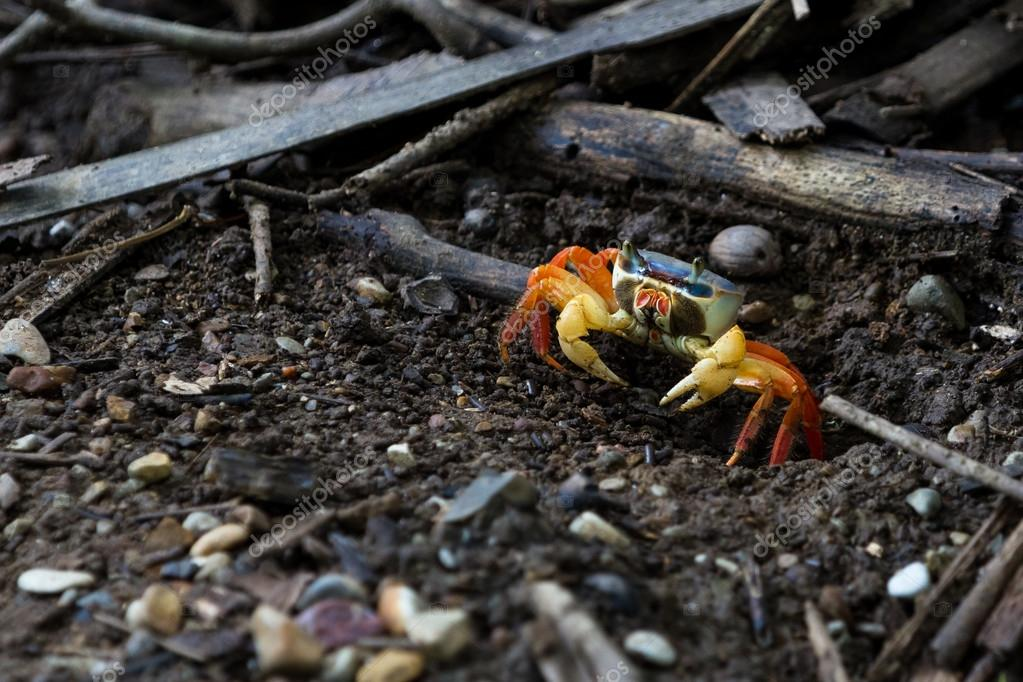 colorful tropical crab