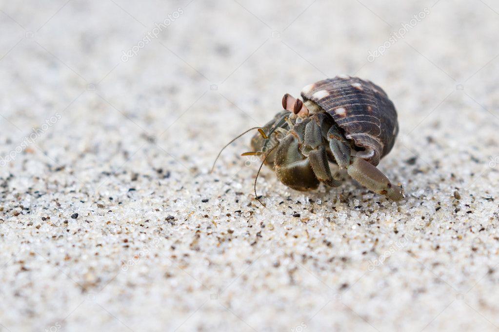 Cangrejo ermitaño de playa | cangrejo ermitaño en la playa — Foto de ...