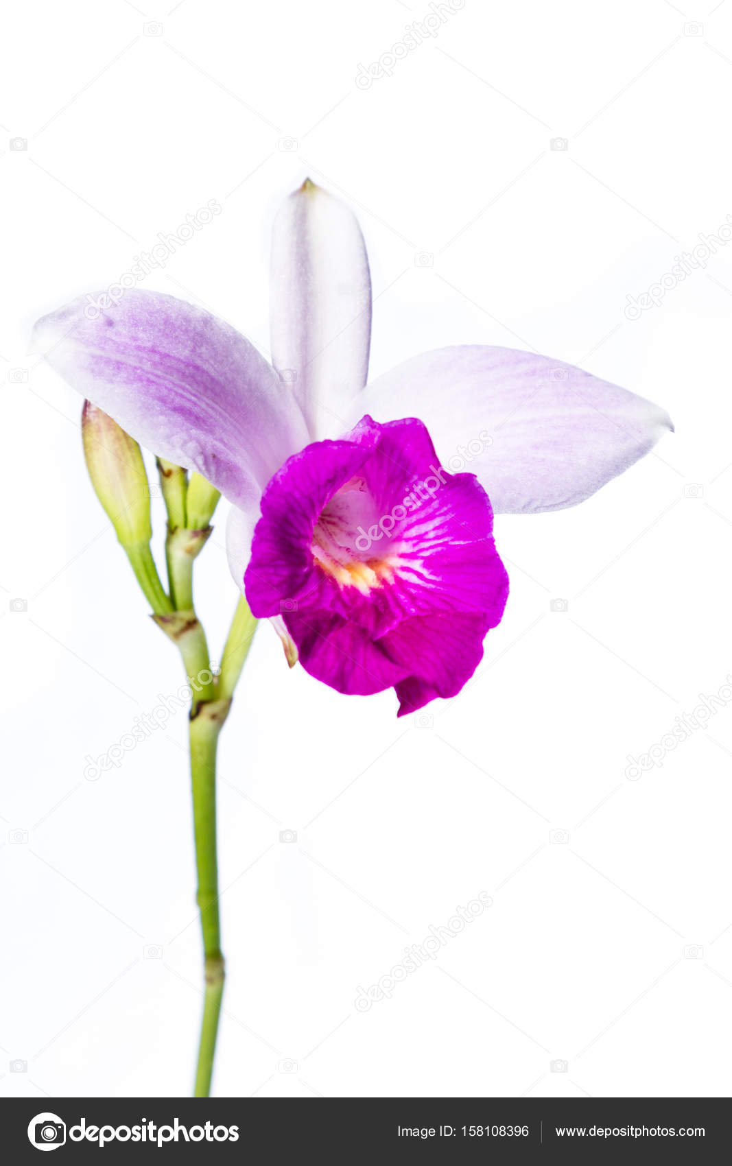 Bambus Orchidee Auf Weiss Stockfoto C Wollertz 158108396