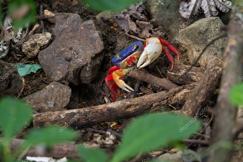 tropical forest crabs