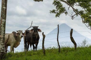 Cows in Costa Rica